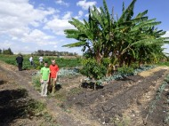 The variety of crops - banana and mango trees, cauliflower, and, in the background, green bean